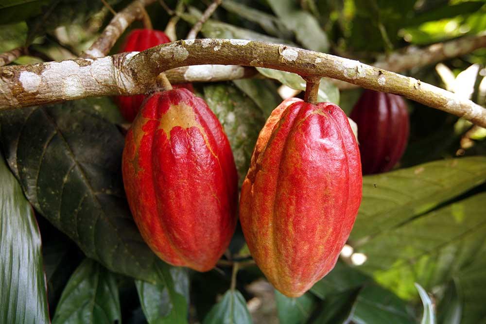 Kakao Maracaibo Venezuela